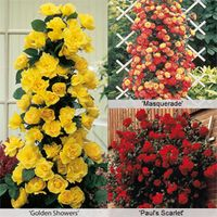 Rose Climbing Collection - 6 bare root rose plants - 2 of each variety