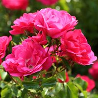 Rose Centre Stage (Shrub Rose) (Large Plant) - 1 x 4 litre potted rose plant