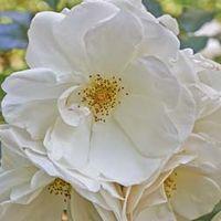 Rose rugosa Alba (Species Shrub Rose) (Large Plant) - 2 x 3.5 litre potted rose plants