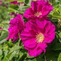 Rose rugosa Rubra (Species Shrub Rose) (Large Plant) - 2 x 3.5 litre potted rose plants