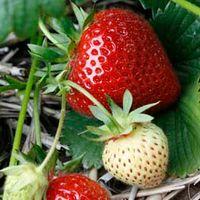 Strawberry Elegance (Mid Season) - 12 strawberry bare roots