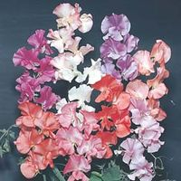Sweet Pea T&M Prize Strain Mixed - 1 packet (45 sweet pea seeds)