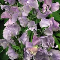 Sweet Pea Ballerina Blue - 1 packet (25 sweet pea seeds)