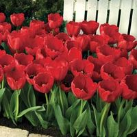 Tulip Red Impression - 16 tulip bulbs