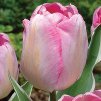 Tulip New Design - 16 tulip bulbs