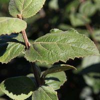 Viburnum carlesii Aurora (Large Plant) - 1 x 12 litre potted viburnum plant