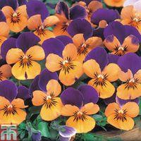 Viola Sorbet Orange Jump Up - 36 Viola plug plants