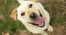 Boomer - Labrador Retriever mix