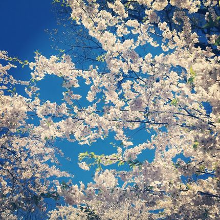 Cherry Blossom Magic in High Park
