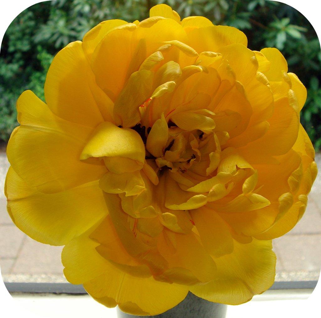 tulip again  by gijsje