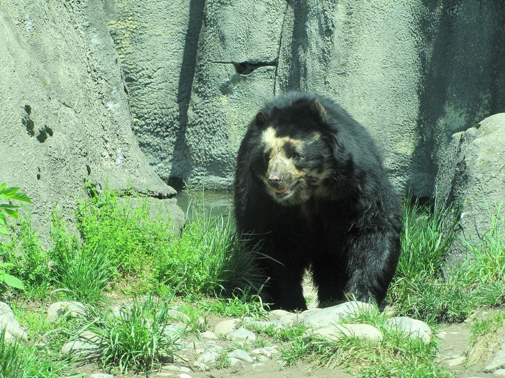 Spectacled Bear by maggie2