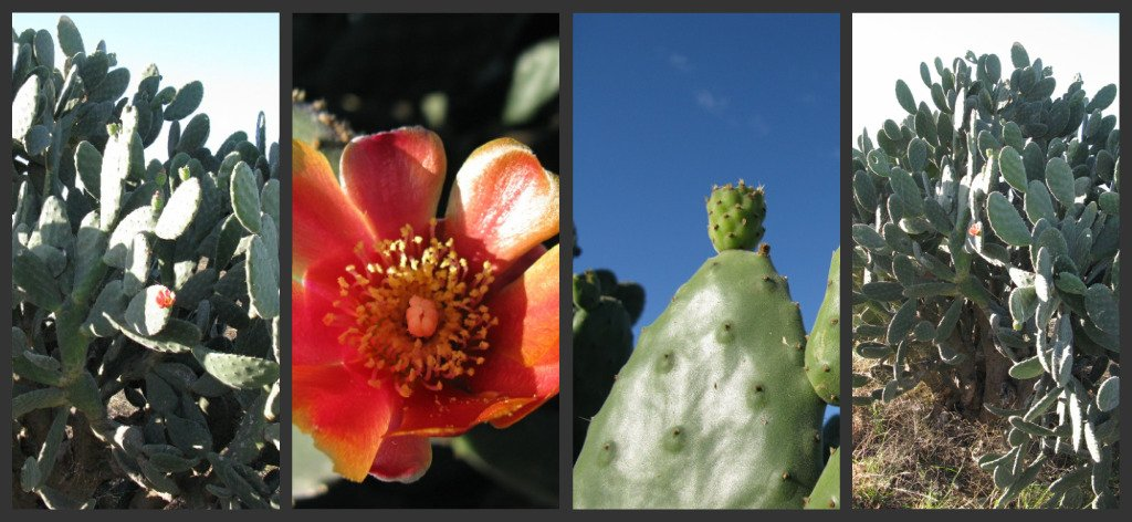 Prickly Pear 2 by loey5150