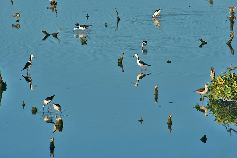 black-winged stilts by corymbia