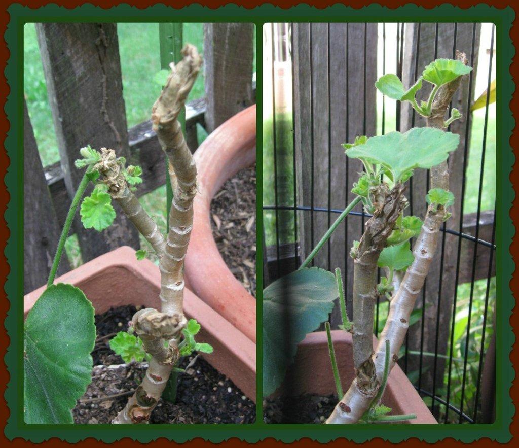 My Geranium - Progress by mozette