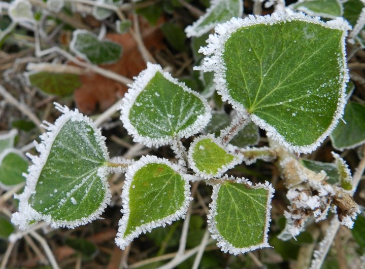 Frost Fringed Leaves by if1