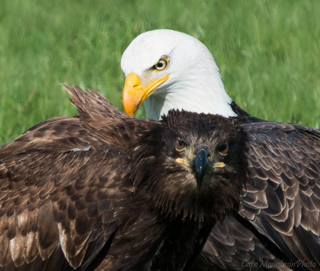 Eagle Portrait  by jgpittenger