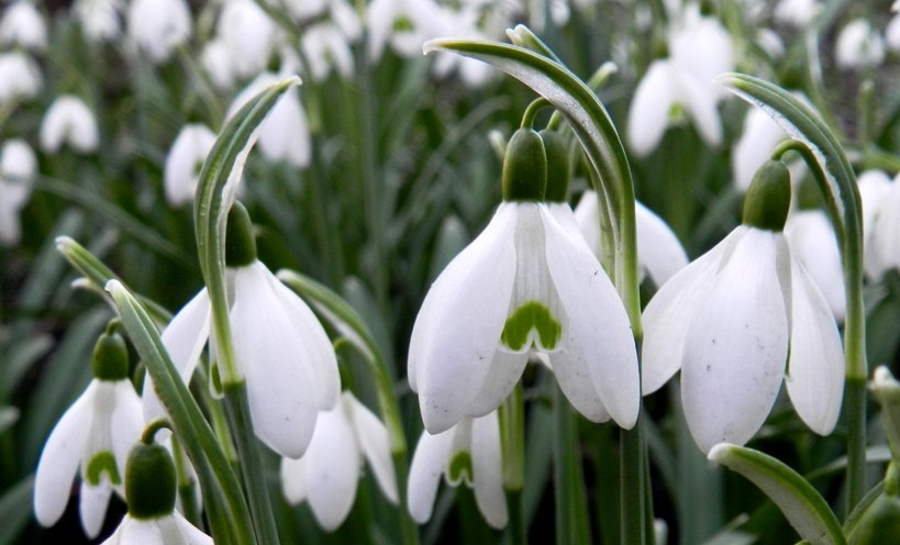 Snowdrops by if1