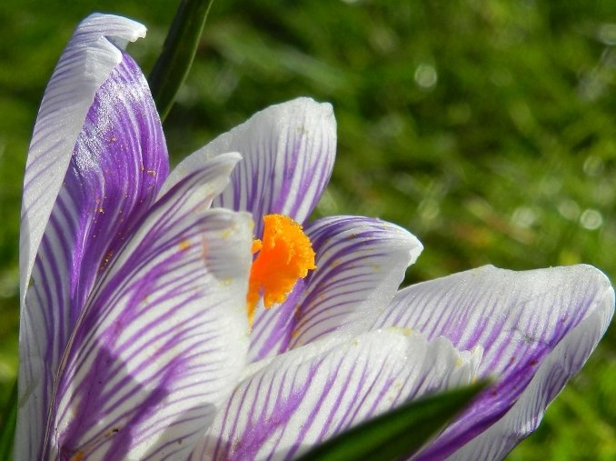Crocus by if1