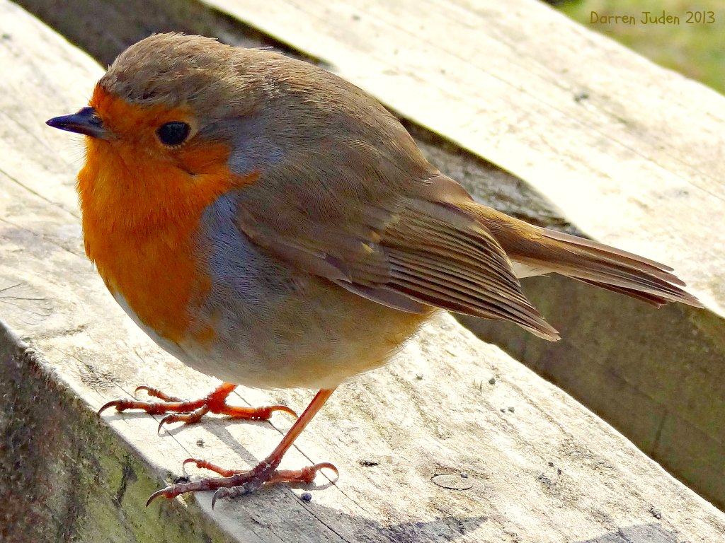 Robin the food. by darrenboyj