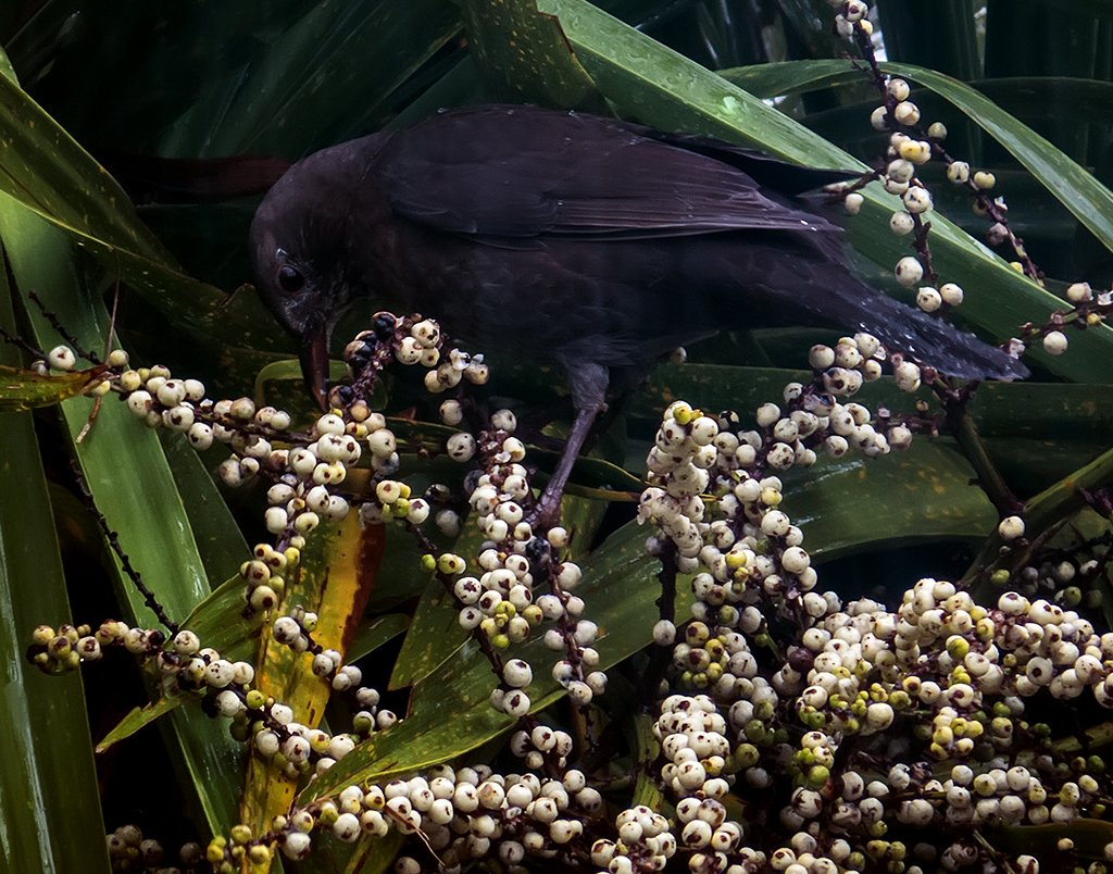 young blackbird in the cabbage tree by kali66