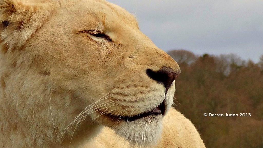White Lion. by darrenboyj