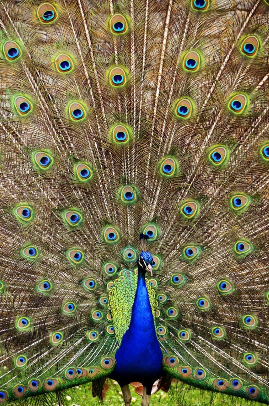 Peacocks at Kirby Hall by pistonbroke