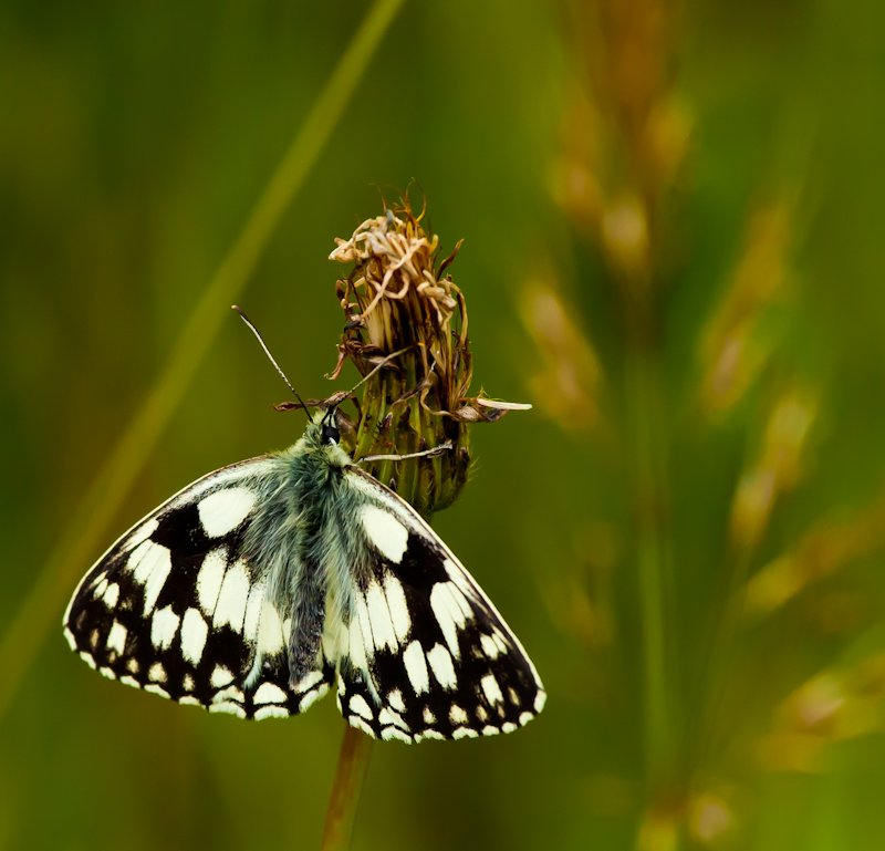 2nd July 2013 Marbled White by pamknowler
