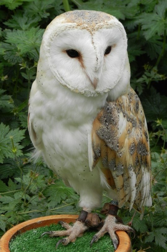 Barn Owl by fishers