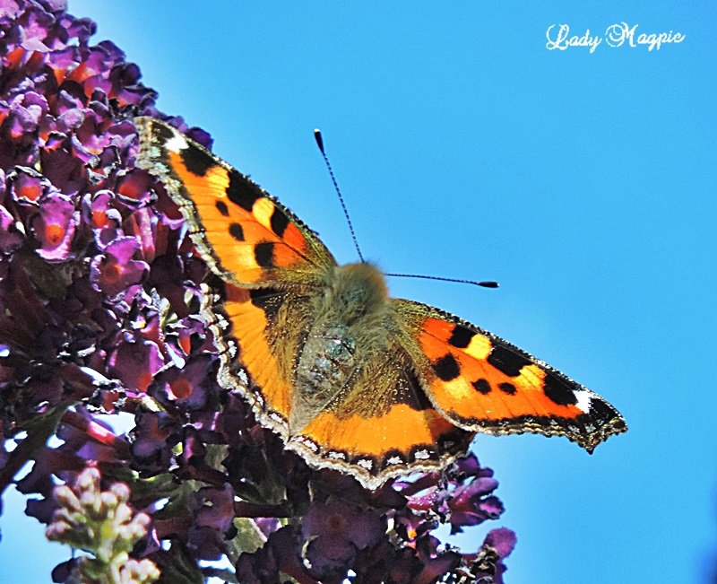 Tortoiseshell Butterfly by ladymagpie