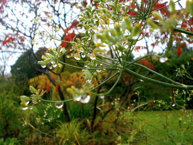 Rain drops on Fennel... by snowy