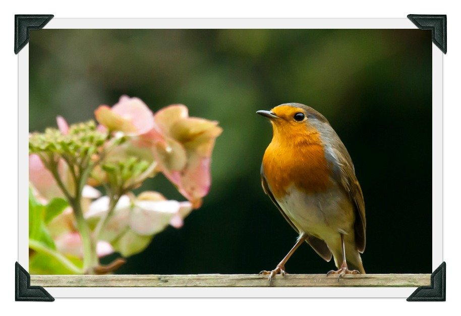 6th November 2013 - Robin to the rescue!! by pamknowler
