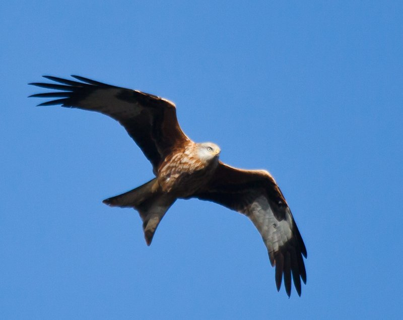 24th December 2013 - Red Kite fly past by pamknowler