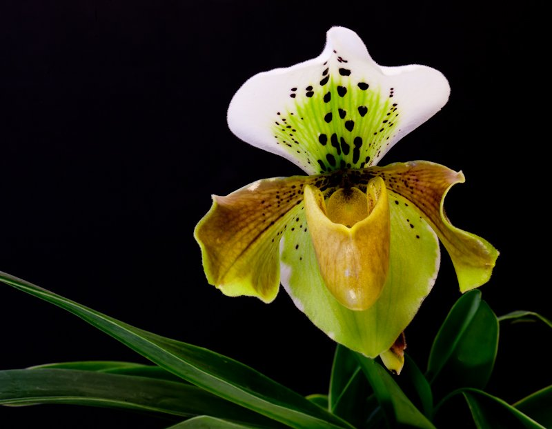 7th January 2014 - Surprise Orchid by pamknowler