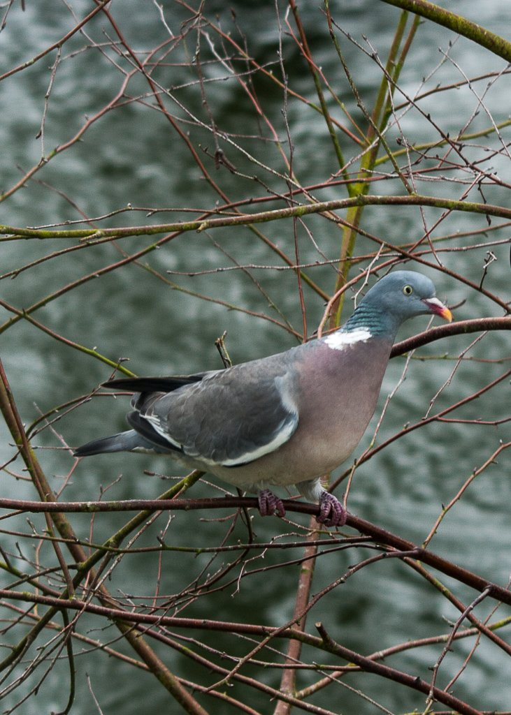 Wood pigeon - 6-03 by barrowlane