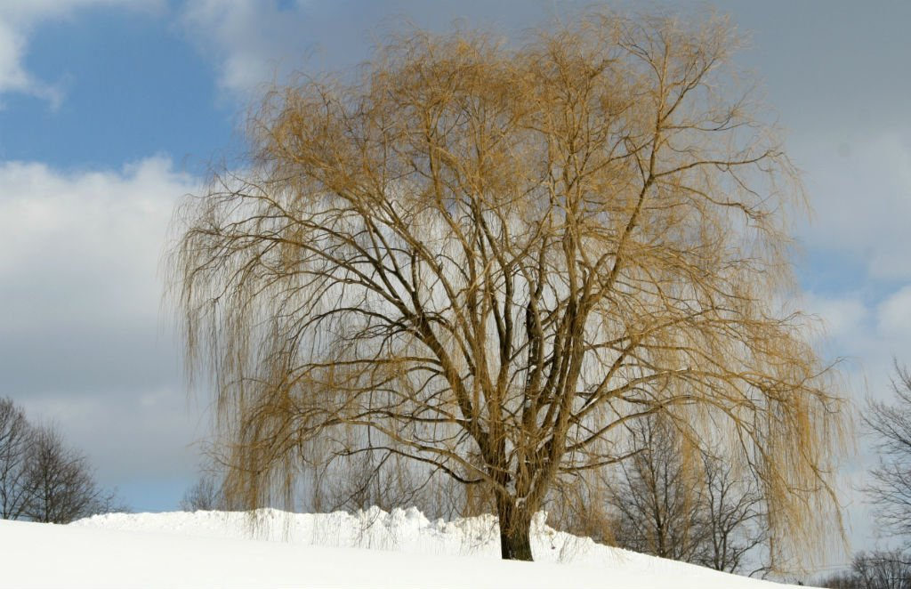 Weeping willow in the snow by mittens