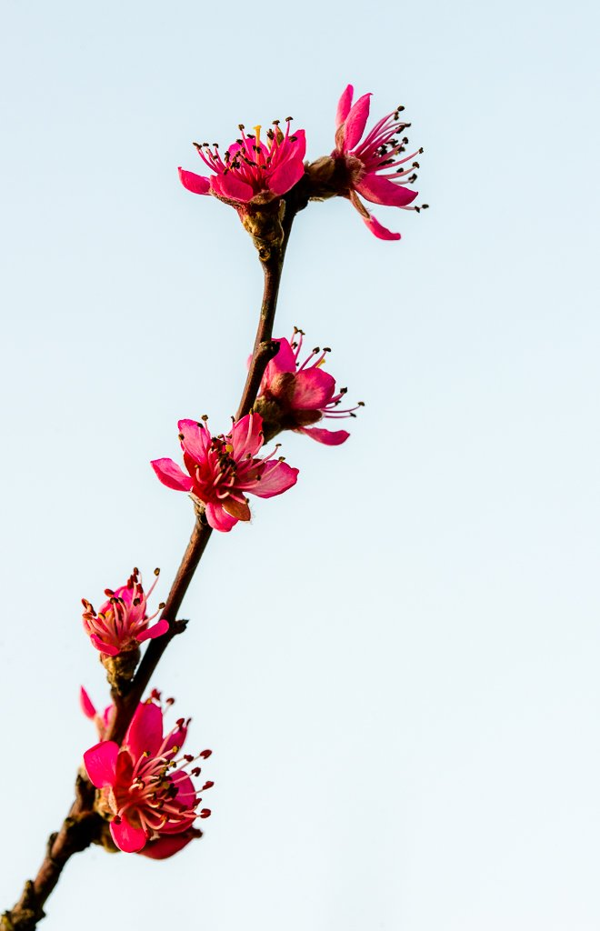 Blood Peach Blossom by vignouse