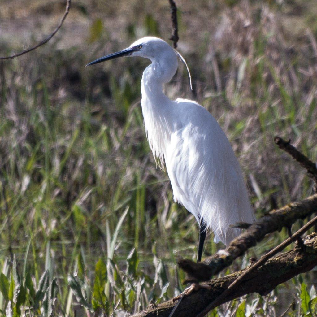 Little Egret - 13-03 by barrowlane