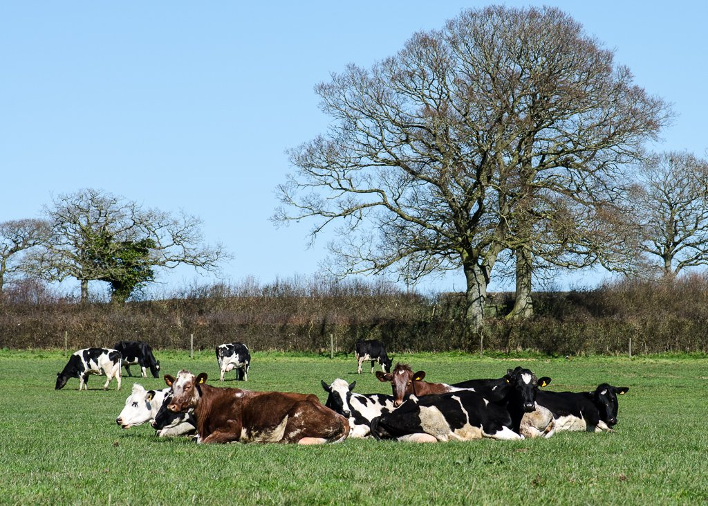 Cows are out - 16-03 by barrowlane