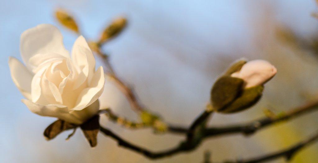Magnolia blossom - 18-03 by barrowlane