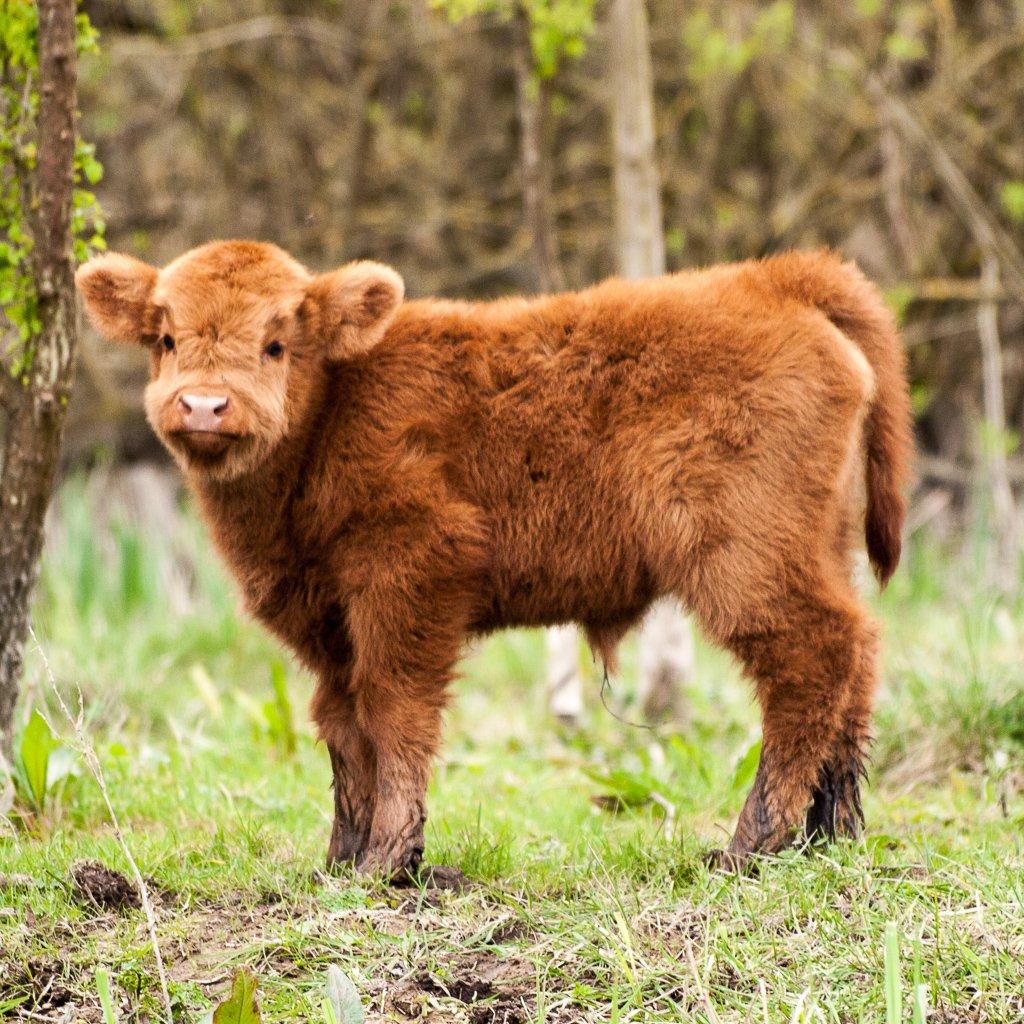 Highland baby - 2-04 by barrowlane
