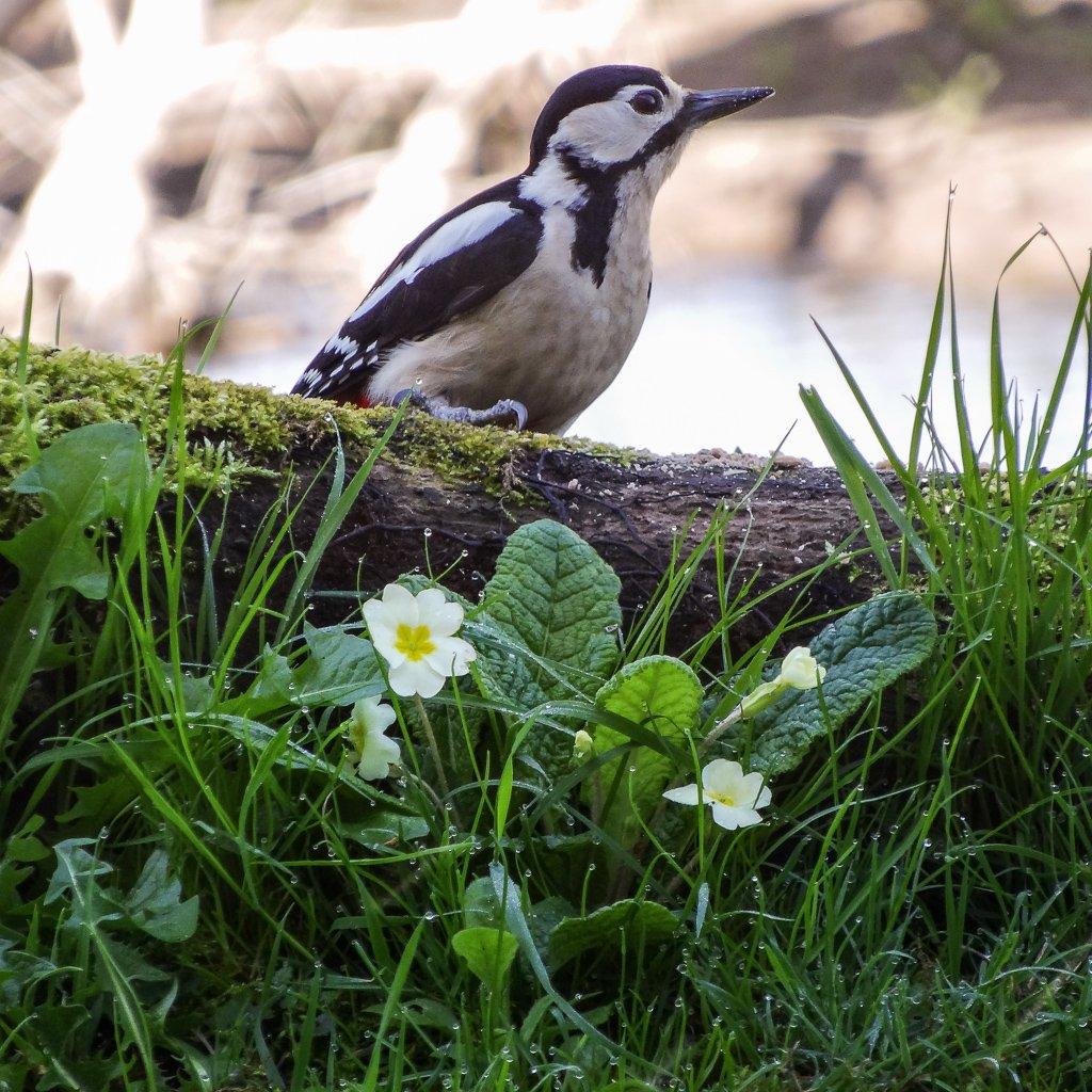 Woody amongst the primroses - 10-04 by barrowlane