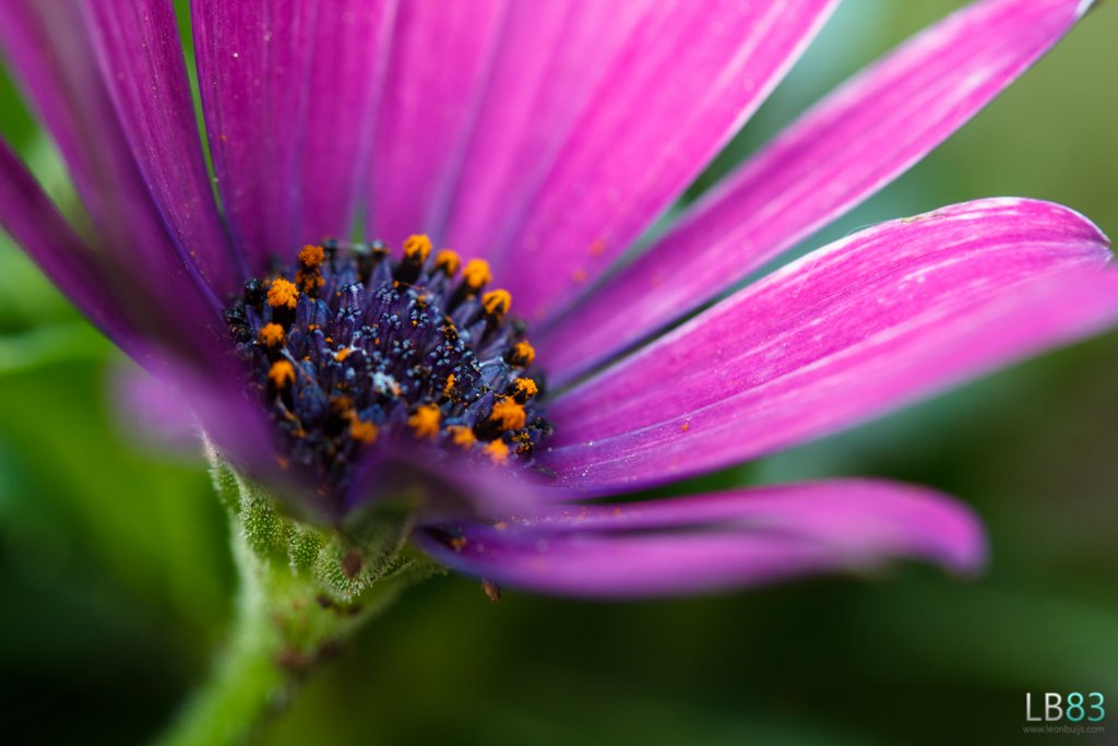 African Daisy by leonbuys83