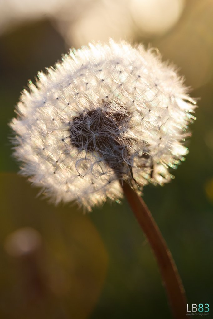 Dandelion in the evening sun by leonbuys83