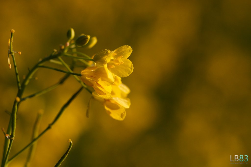 Rapeseed  by leonbuys83