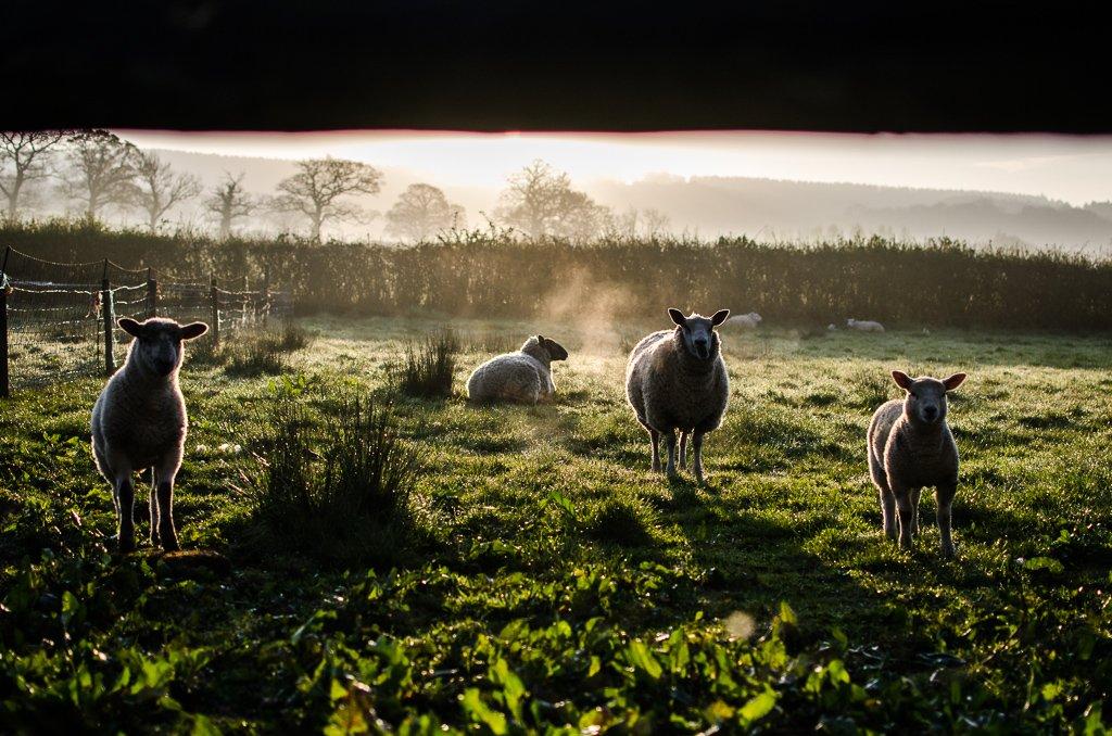 Sunrise over the sheep - 17-04 by barrowlane