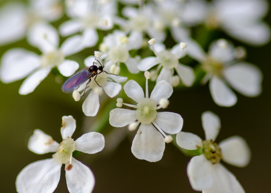 Cow parsley flowers and small fly - 19-04 by barrowlane