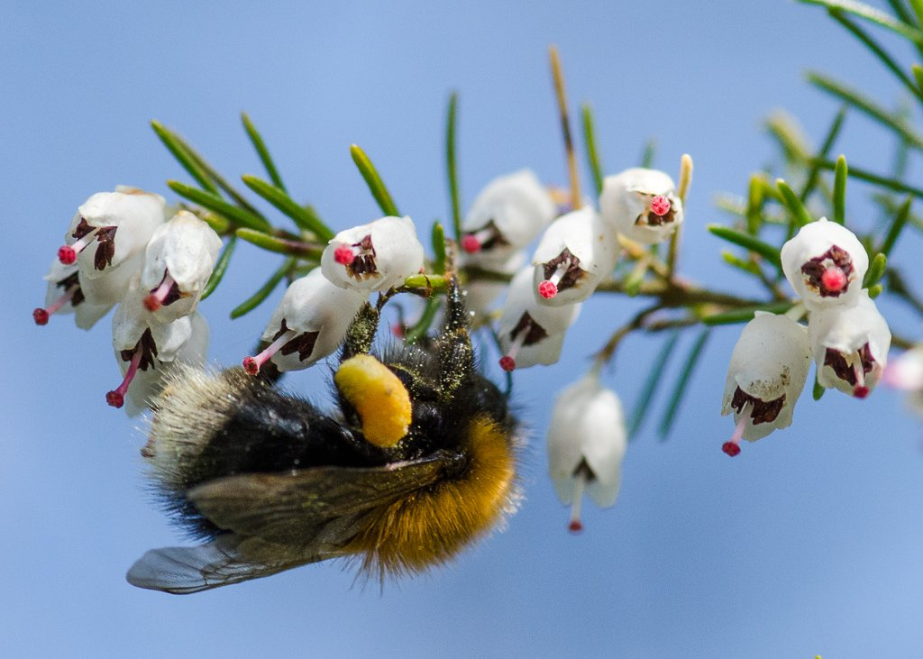 Laden with pollen - 21-04 by barrowlane