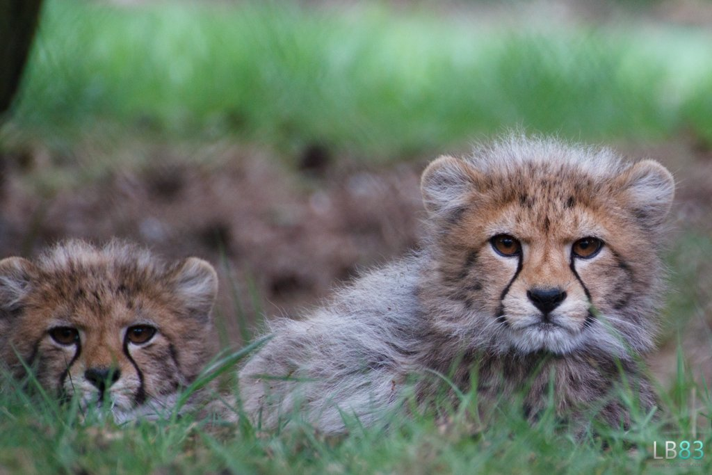 Cheetah Cubs by leonbuys83