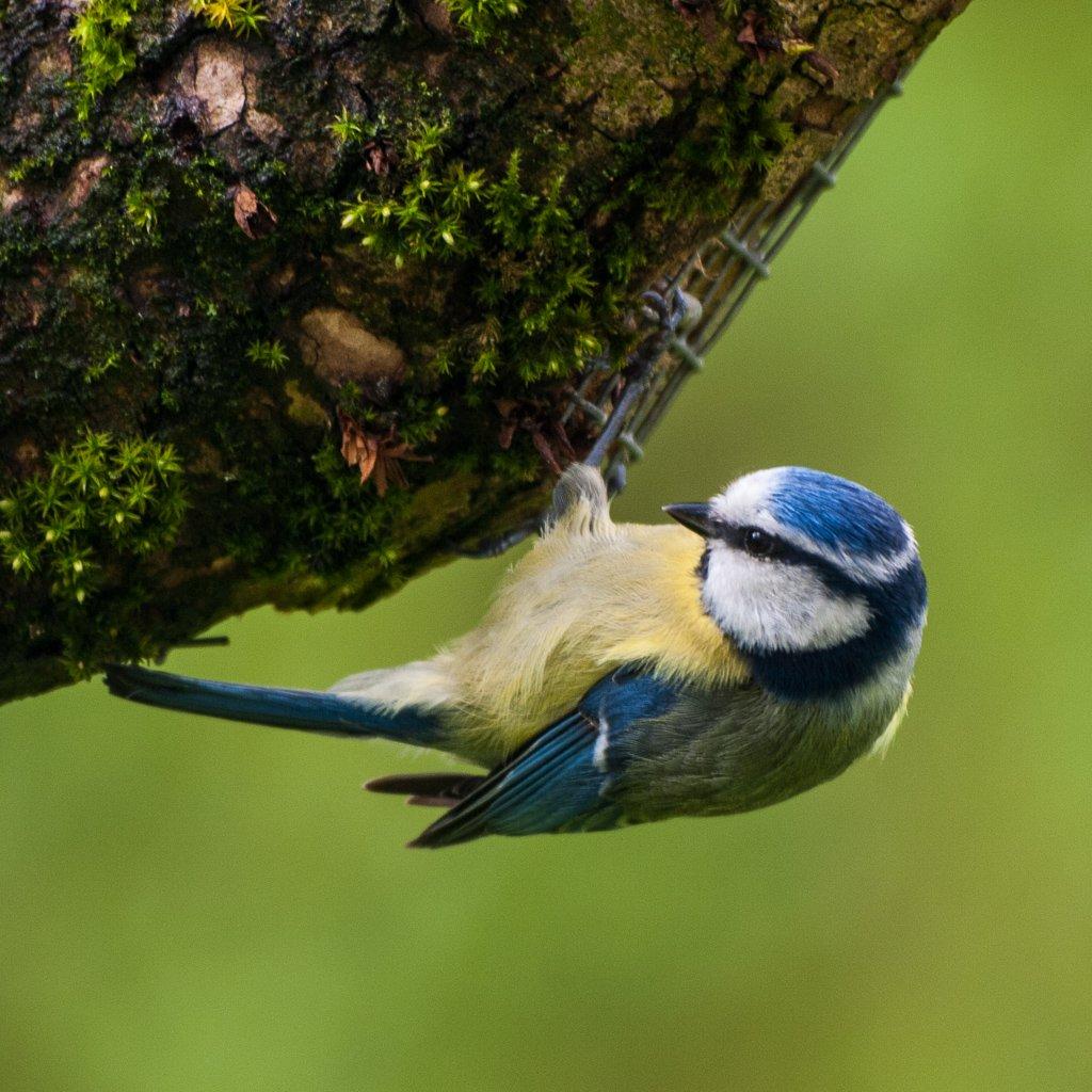 Blue tit - 29-04 by barrowlane