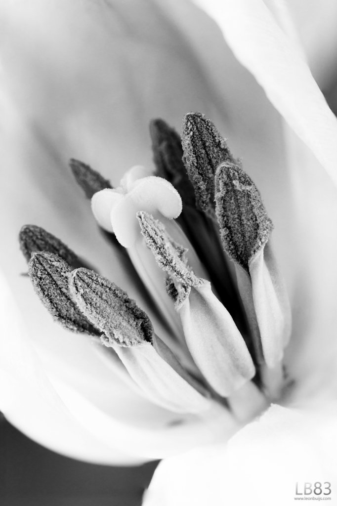 Tulips V - Inside the Tulip  by leonbuys83
